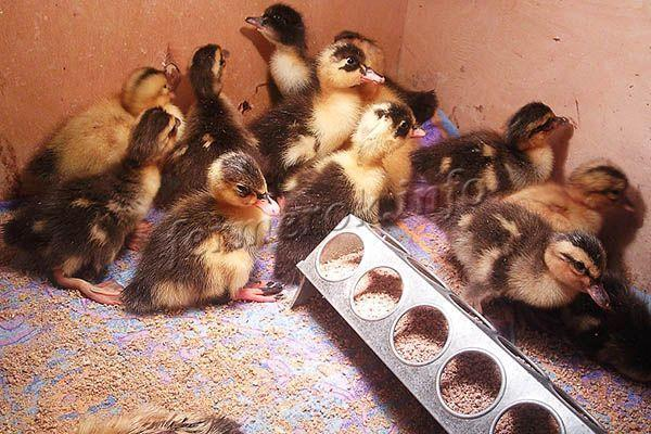 Когда индоутки начинают нести яйца? 24 фото сколько дней птица сидит на яйцах? когда в первый раз начинают их высиживать? яйценоскость мускусных уток в домашних условиях