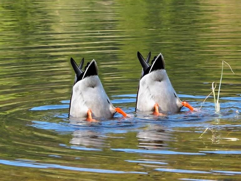 ✅ cколько лет живут утки в домашних условиях и в природе - tehnoyug.com