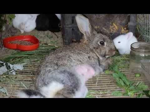 У кролика отказали задние лапы: причины паралича, что делать, фото