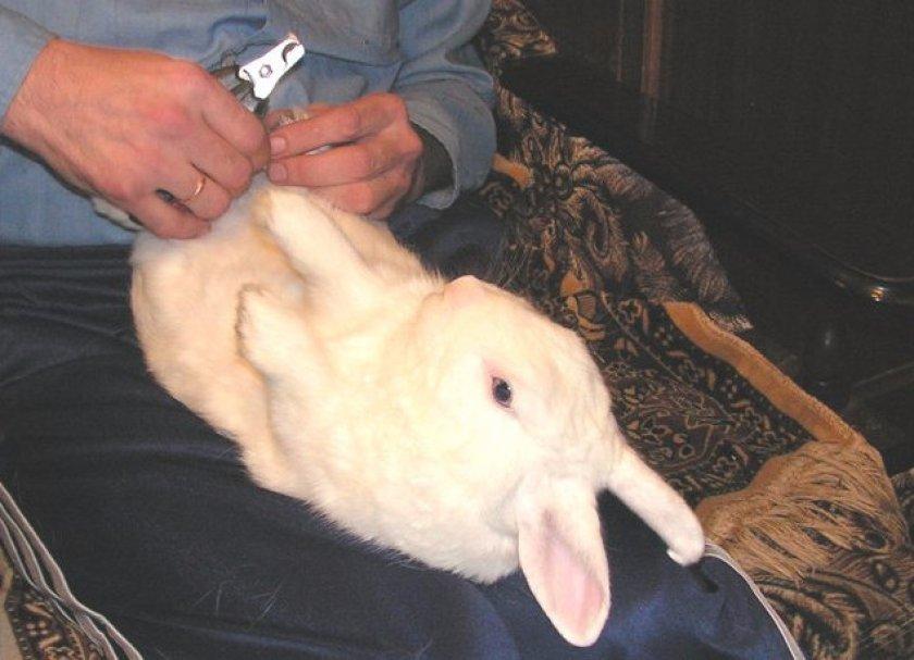 Зачем и какими способами проводится кастрация кроликов