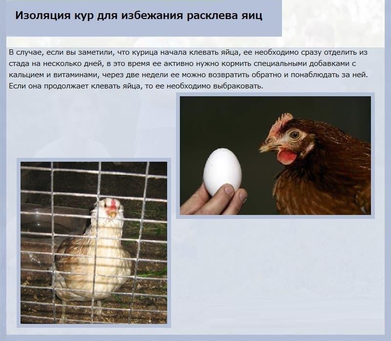 Куры клюют яйца: причина и что делать для решения проблемы