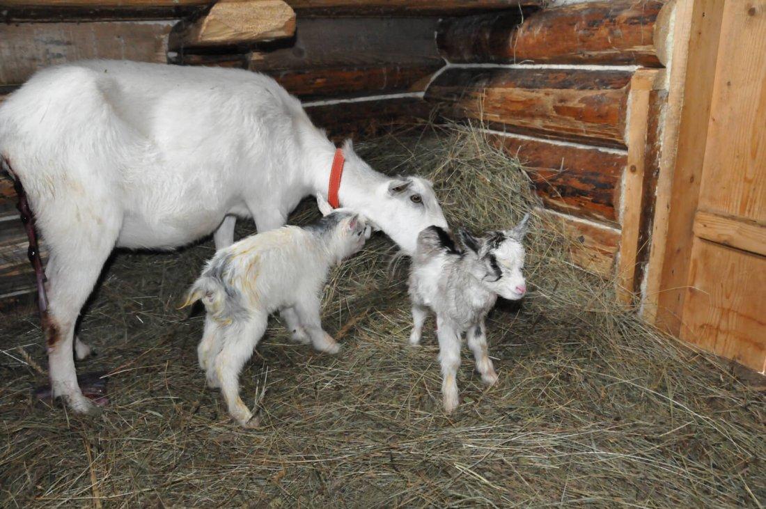 Коза домашняя: неприхотливое и полезное домашнее животное. 100 фото и описание основных пород
