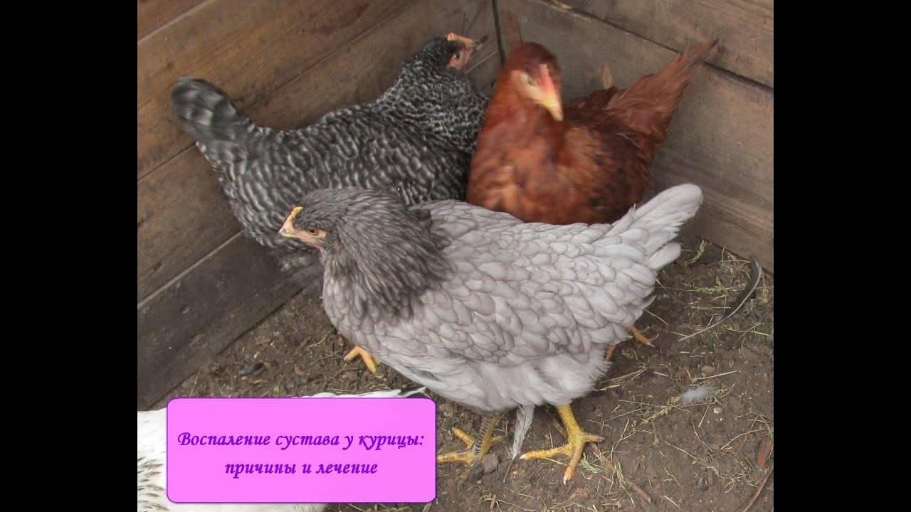 Почему забился зоб у курицы и что делать в этом случае: советы, фото и видео