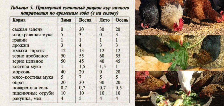 Сколько яиц несет курица в день: норма и отклонения