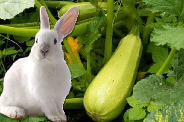 Можно ли давать кроликам кабачки и листья кабачков