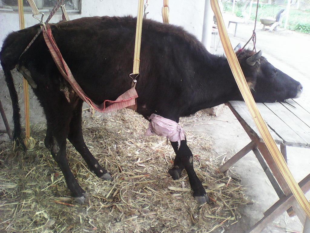 Яловая корова это