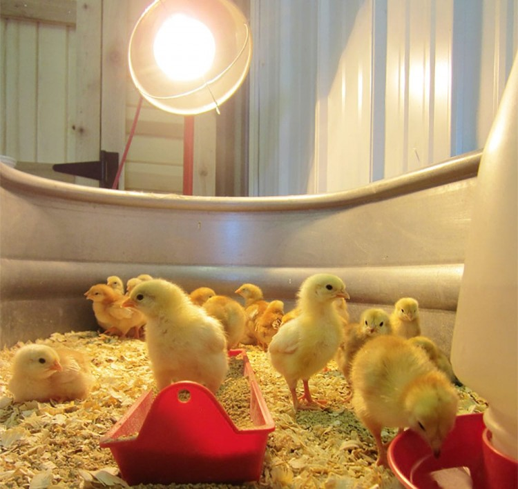 Выращивание бройлеров в домашних условиях: технология и оборудование, содержание цыплят и кур, кормление и уход, болезни