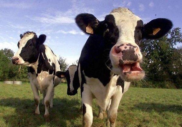 У коровы остановился желудок что делать нет жвачки