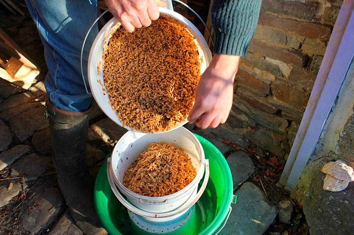 Как прорастить пшеницу для кур — инструкция по кормлению несушек зернами