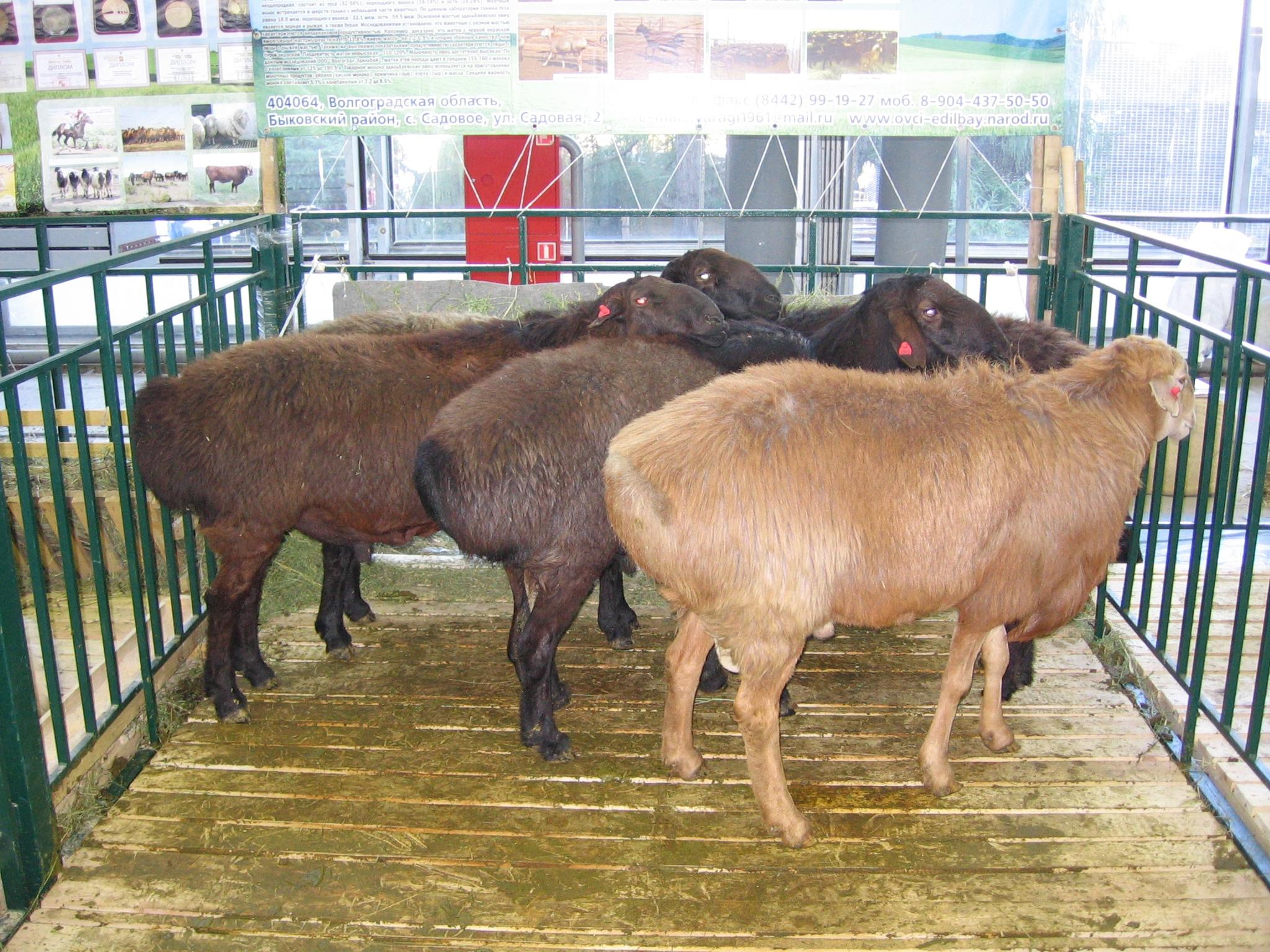 Опыт работы ооо «волгоград-эдильбай» по разведению эдильбаевской породы овец | fermer.ru - фермер.ру - главный фермерский портал - все о бизнесе в сельском хозяйстве. форум фермеров.