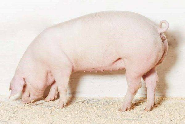 Породы свиней - какие лучше всего подходят для домашнего разведения?