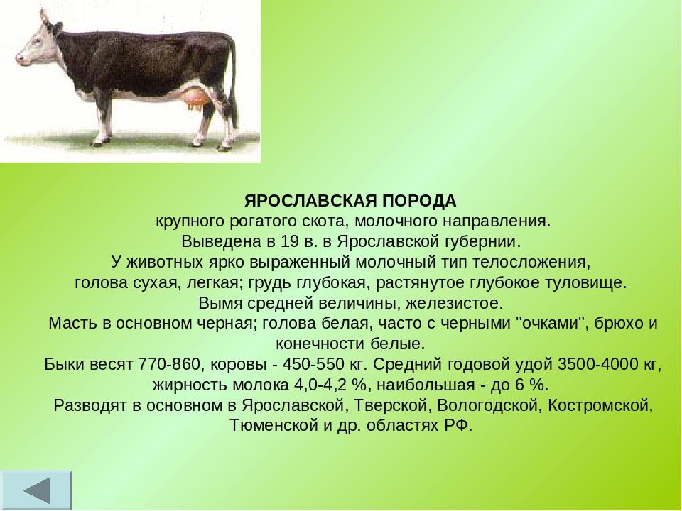 Лимузинская порода коров: особенности содержания в домашних условиях