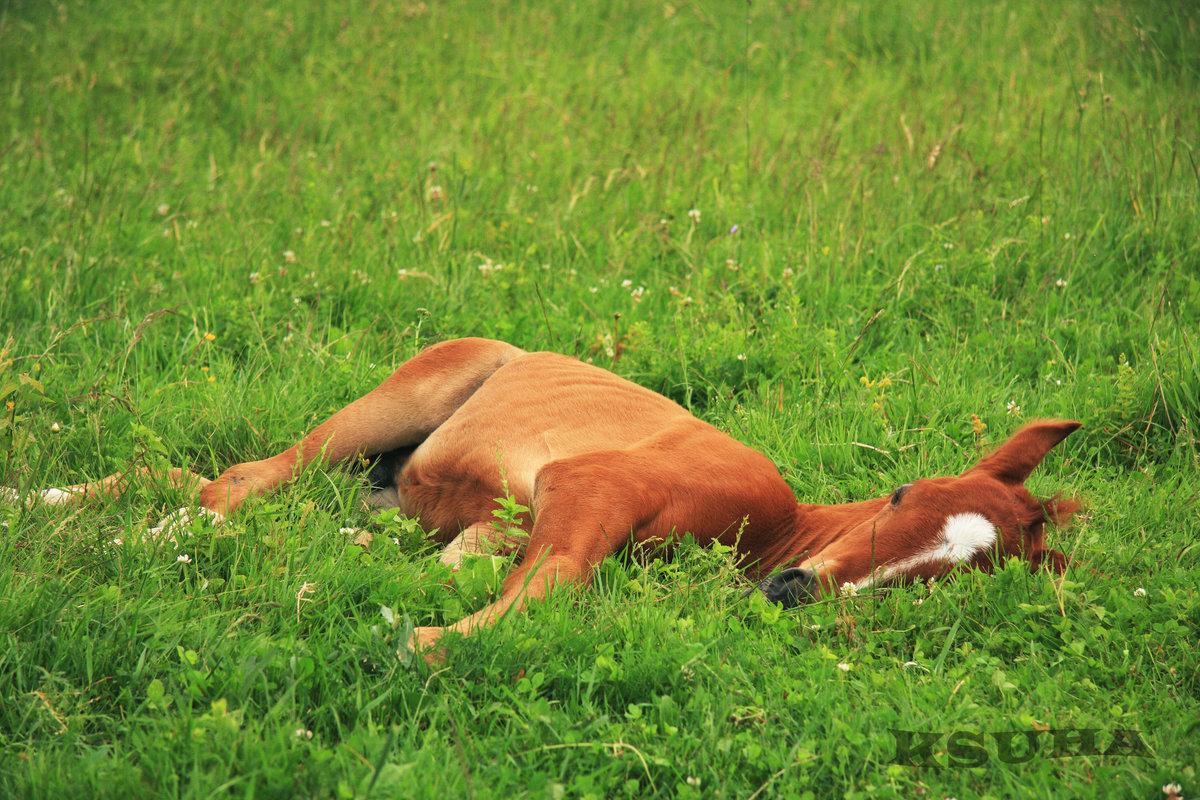 Как спят лошади - мифы и правда - лошади дзержинский