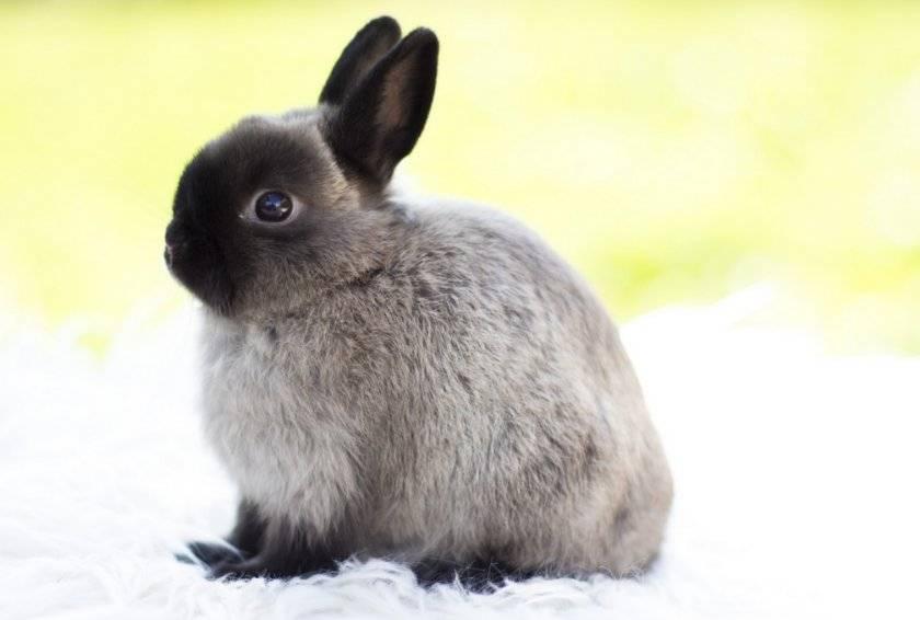 Короткошерстный карликовый кролик: уход, содержание и кормление