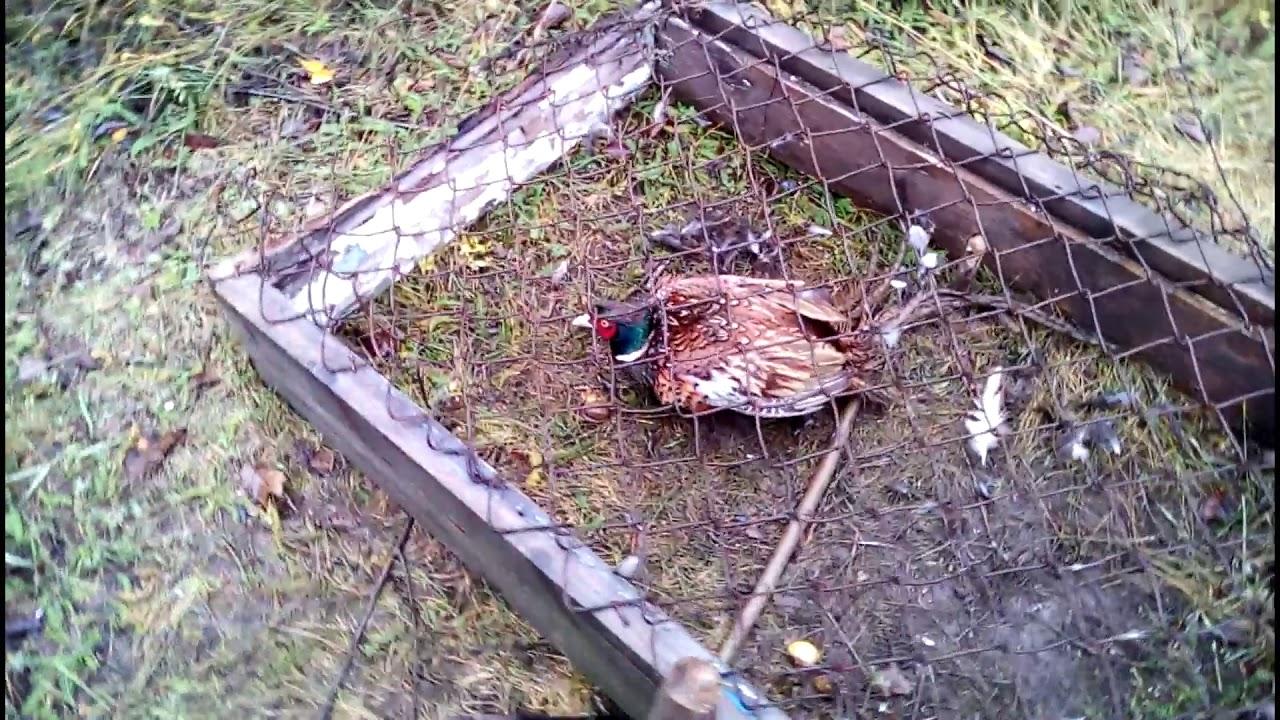Ловушка для фазана из пластиковой бутылки. ловим с помощью лука. виды ловушек на птиц
