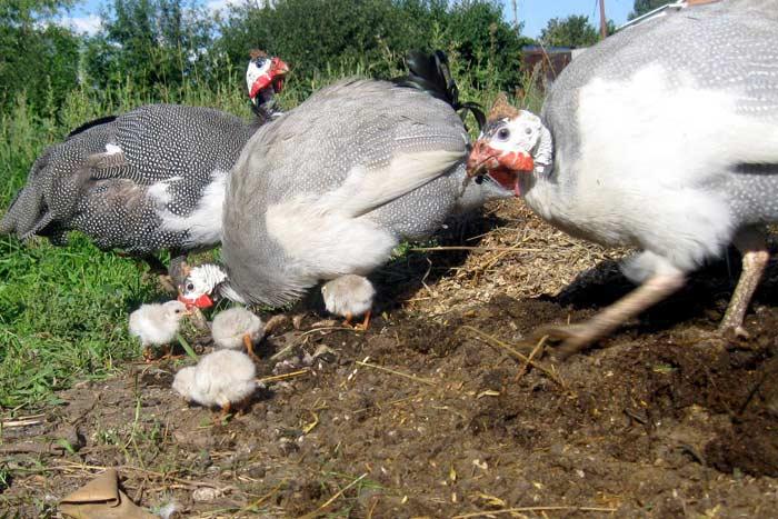 Сколько дней высиживает яйца цесарка: почему могут быть проблемы - сельская жизнь