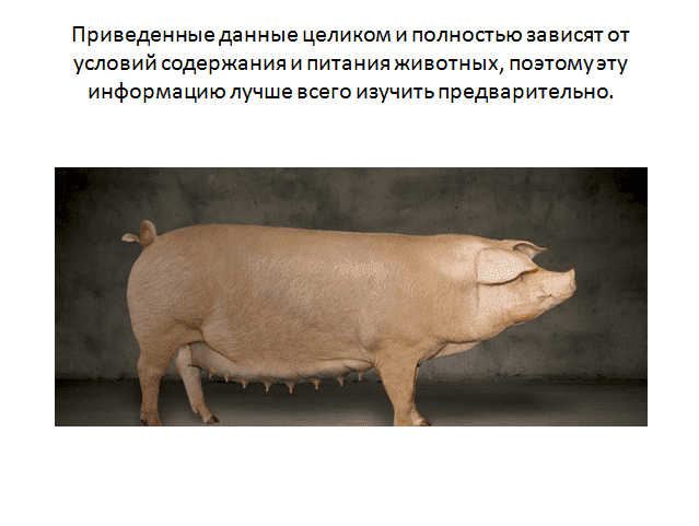 Свиньи ландрас: характеристика, фото, отзывы о породе