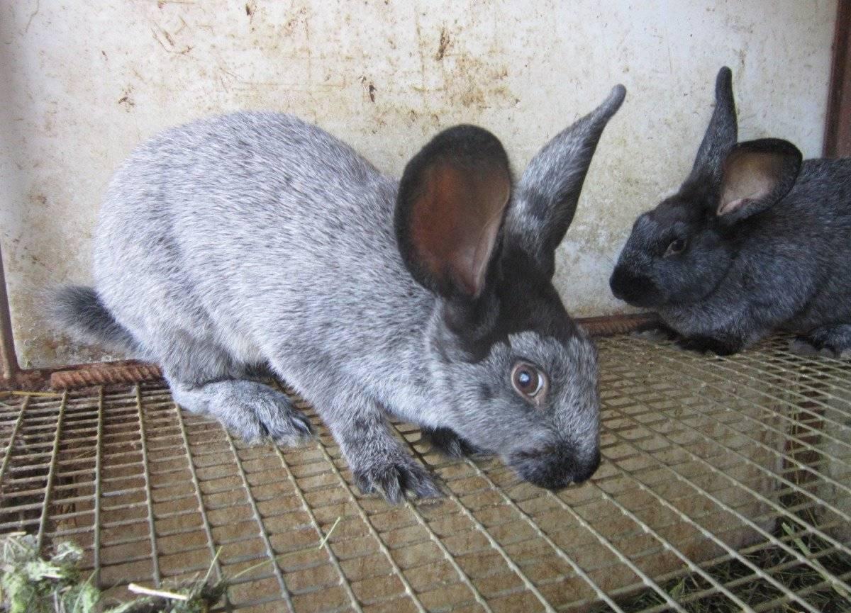 Кролики полтавское серебро: описание породы, характеристика, разведение и уход