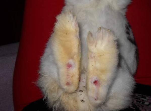 Болезни лап у кроликов, причины, профилактика и принципы лечения