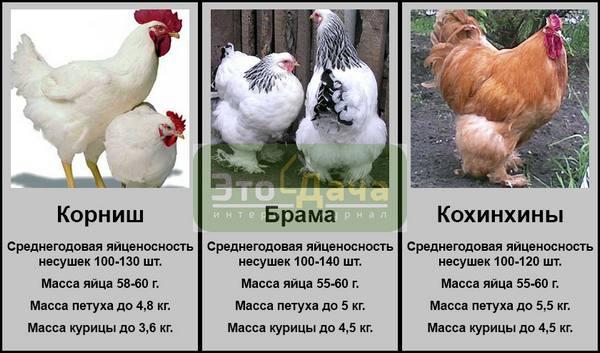 Яйценоскость кур несушек: особенности, как повысить в домашних условиях?