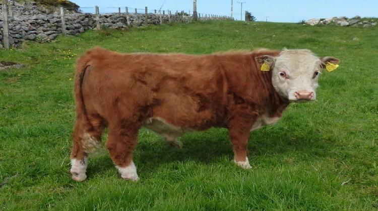 Герефордская порода крс — особенности содержания коров, быков и телят