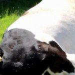 ✅ о черно пестрой породе коров, быков, крс: характеристика, правила ухода - tehnomir32.ru