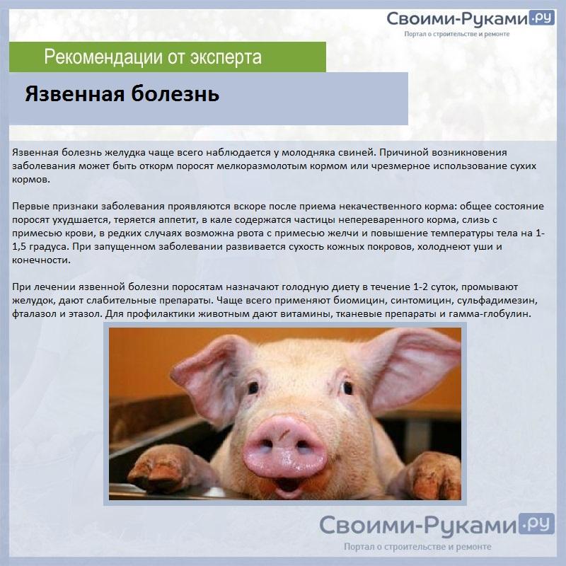 Рожа у свиней: описание, симптомы и лечение болезни
