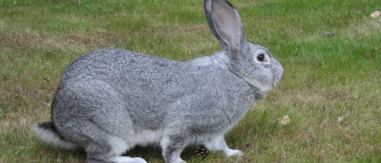 Что должен знать каждый… о кролике породы советская шиншилла