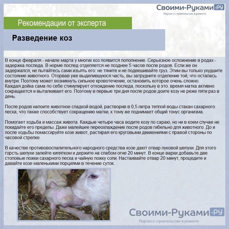 Альпийские козы: особенности породы и условия содержания, характеристика продуктивности и происхождение