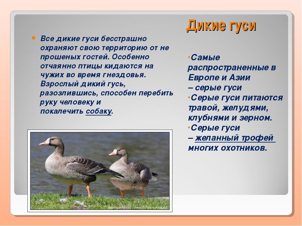Породы уток   названия, характеристики, описание, особенности ухода и содержания (120 фото)