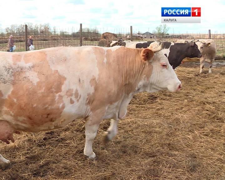 Лейкоз у коров: симптомы и этиология, методы диагностики и лечения, чем опасна болезнь для человека