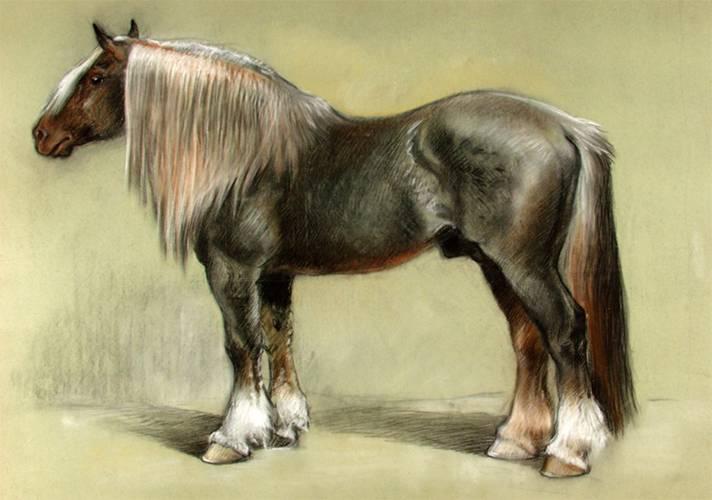 Лошадь породы першерон: история, описание, фото | мои лошадки