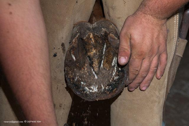 Зачем подковывать современную лошадь и как происходит ковка