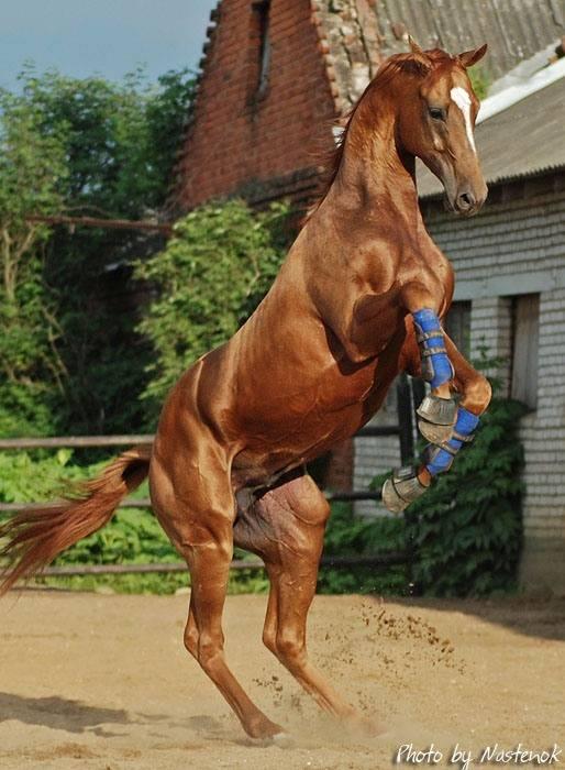 Буденновские лошади — описание породы