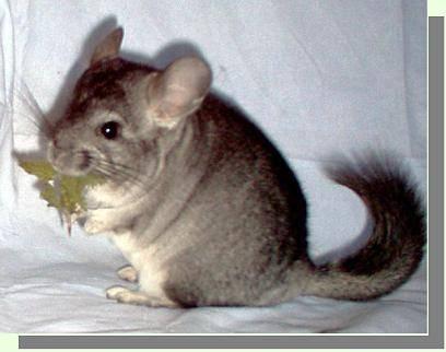 Кролик породы серебристый: как ухаживать и чем кормить в домашних условиях