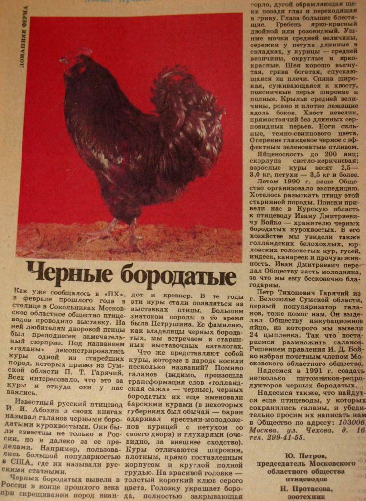 Русская черная бородатая: описание породы кур и ее особенности, условия выращивания и содержания, фото