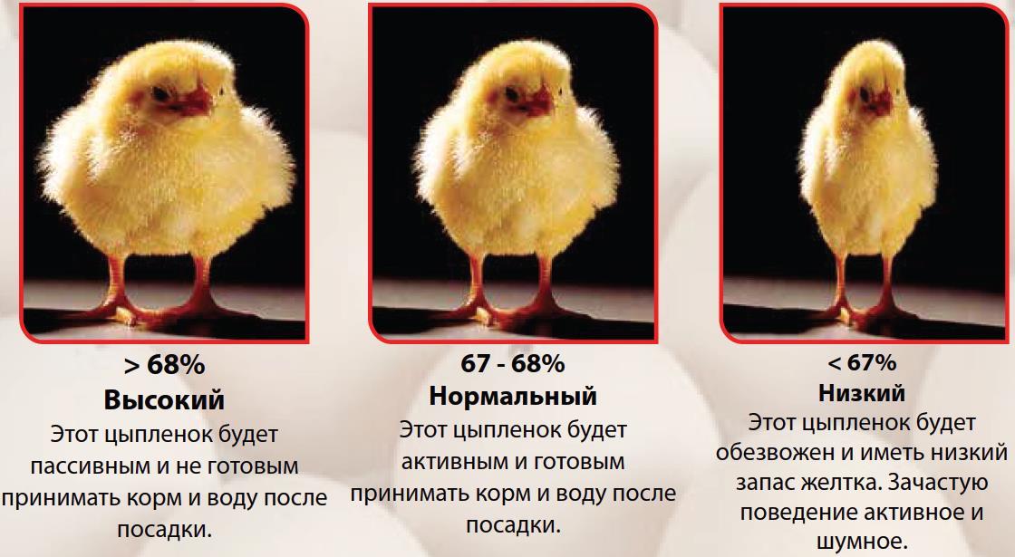 Как долго длится развитие курицы? процесс формирования птенца и половое созревание птицы