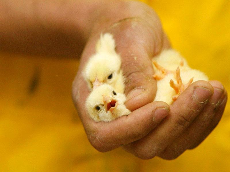 Научные и народные методики как определять пол цыплят петух или курица
