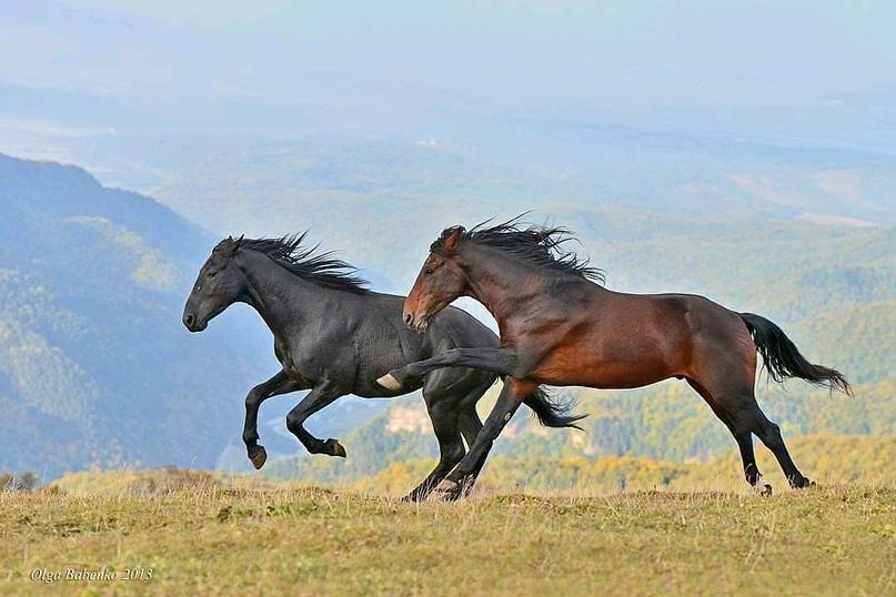 Карачаевская порода лошадей: разновидности и рекомендации по уходу