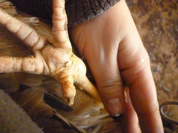 ✅ если курицы хромают на одну ногу: как лечить куриную хромоту и другие болезни ног у птиц - tehnomir32.ru