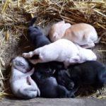 Как разводить кроликов от рождения до забоя