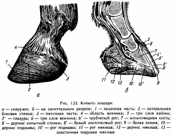 Разбираем анатомию лошади: скелет, строение, стати и части тела