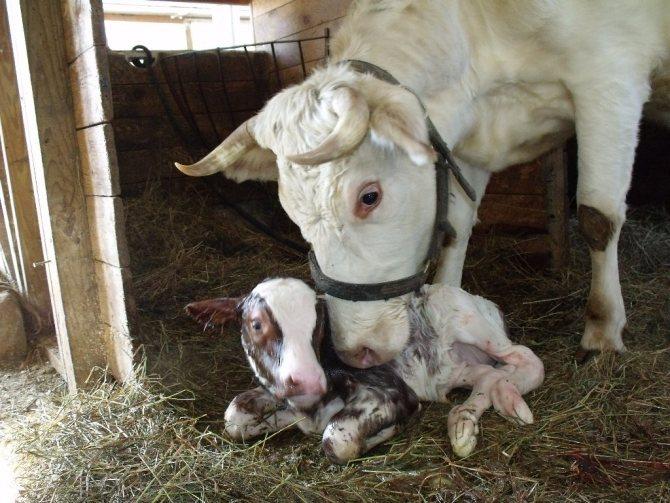 Послеродовой парез у коров: лечение препаратами nita-farm