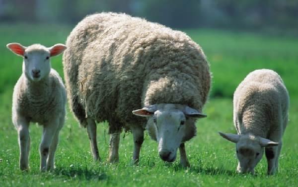 Детеныш овцы: как называется молодняк 2020