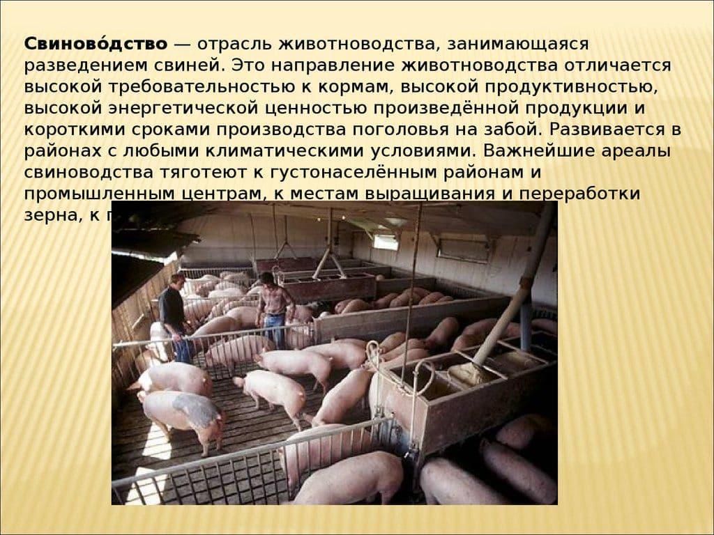 Свиноводство: особенности разведения и ухода — cельхозпортал