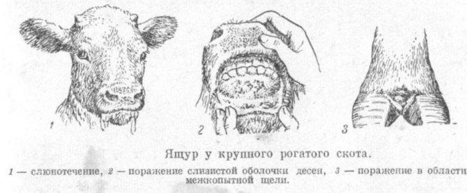 Лептоспироз крс