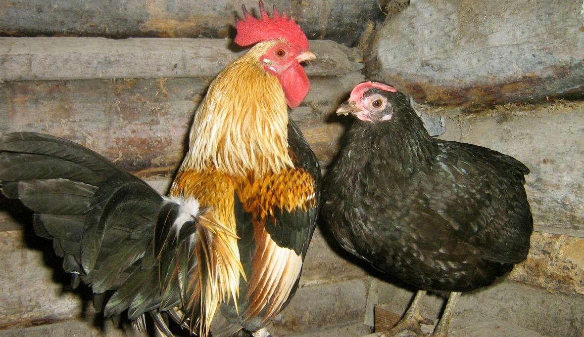 Такие мягкие, пушистые и дружелюбные — куры породы курчавая
