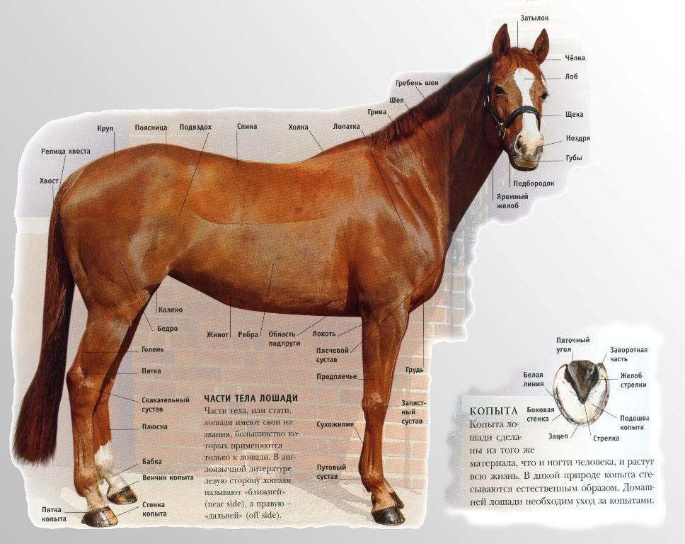 Рассмотрим экстерьер и стати лошади