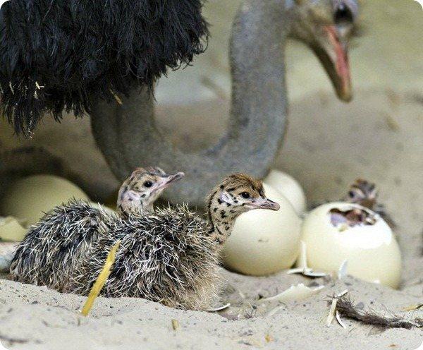Бизнес по содержанию и разведению страусов в домашних условиях