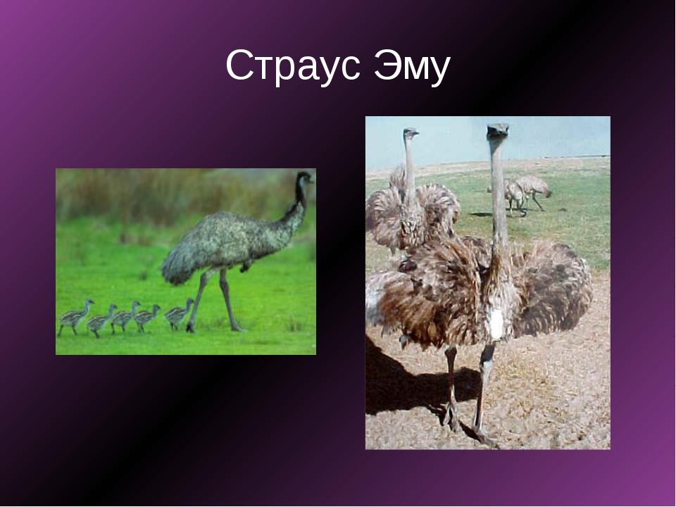 Все о видах страусов